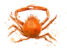 Watercolor Crab On An Isolated...