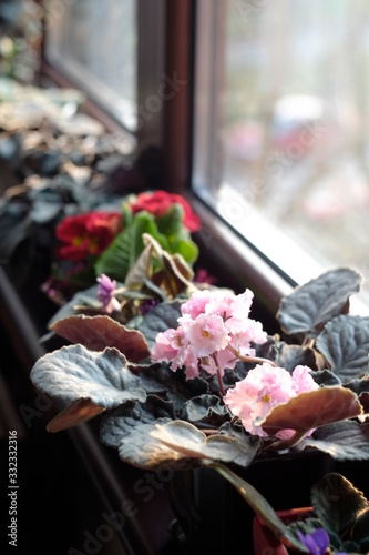 Colorful violets by the window, indoor, sunny day