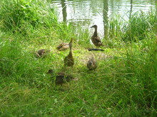 Wild Duck In The Grass