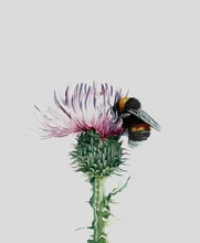 Bumblebee And Thistle Watercol...