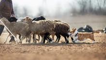 Welsh Corgi Grazing Sheep