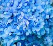 Blue hydrangea flowers close up