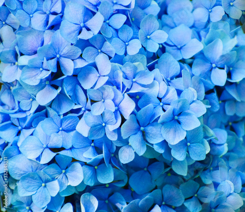Tela Blue hydrangea flowers close up