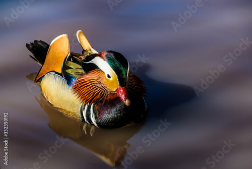Mandarin duck floating and calm on the water Canvas Print
