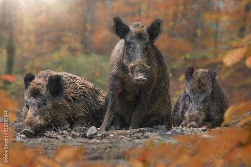 Photo Wildschweine (Sus scrofa) liegen nebeneinander im Herbstwald