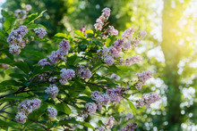 Lilac Or Suringa Is A Flowerin...