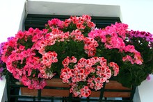 Pretty Geraniums In A Window Box In The Santa Cruz District, Seville, Spain.