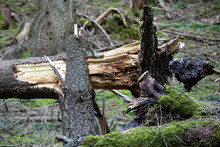 Storm Damage. Fallen Trees In ...