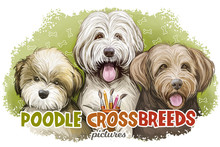 Poodle Crossbreeds Isolated Ba...