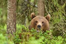 European Brown Bear (Ursus Arc...