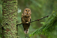 Attentive Tawny Owl, Strix Aluco, Looking To Camera In Summer Forest On Green Background With Copy Space. Alert Wild Bird Sitting On Branch From Front View. Animal Wildlife In Nature.