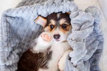 Cute Welsh Corgi Pembroke Pupp...