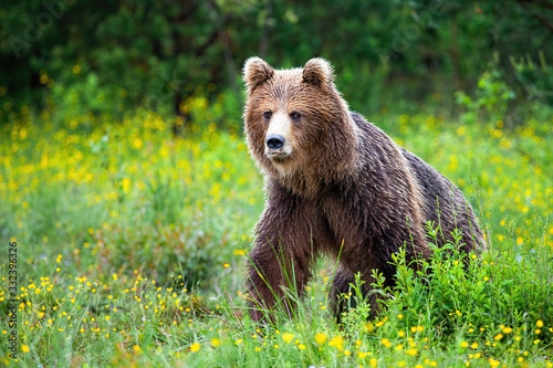 Dangerous brown bear, ursus arctos, approaching while protecting territory in nature. Aggressive mammal coming from front view with yellow flowers around and space for copy.