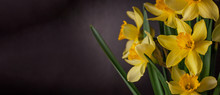 Bouquet Of Yellow Daffodils On Black Background. Spring Blooming Yellow Flowers Green Leaves, Easter Greeting Card, Holidays Website Banner Low Key Modern Style. Dark And Moody Nature Closeup Header.