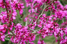 Bright Pink Cercis Tree Flowers. Bee On A Redbud Flower. Springtime