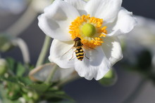 A Beautiful Striped Hoverfly A...