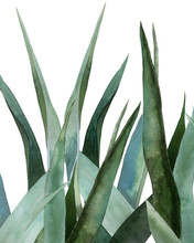 Agave Leaves. Tropical Plant. Watercolour Botanical Illustration Isolated On White Background.