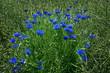 Wilde blaue Blumen im Sommer in Nahaufnahme in einem grünen Rapsfeld