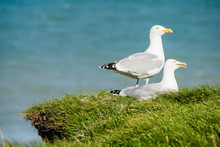 Cute Couple Of Seagulls On The...