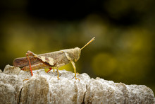 Image Of Brown Grasshopper (Ap...