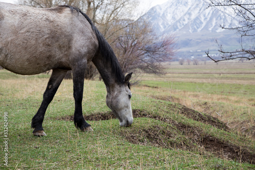 Horses graze in a meadow in the mountains. Grazing livestock. Wallpaper Mural