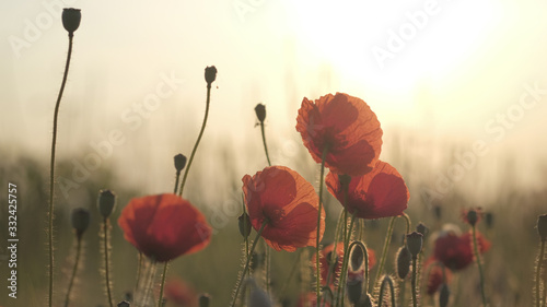 Spring meadow with red poppies at sunrise. Beautiful natural spring background - 332425757