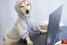 Relaxed Smiling Dog Is Working On Project Online. Using Computer Laptop. Pet Wearing Gray Comfortable Hoodie. Freelancer Work From Home Concept. Closed Eyes. Take It Easy.  Satisfied With Success