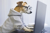 Fototapeta Zwierzęta - Smart working dog using computer typing on laptop keyboard. Designer freelancer working remotely from home Pet clothes gray jumper hoodie. quarantine Social distancing lifestyle. looking to the screen