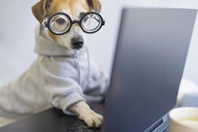 Smart Dog In Glasses Working W...