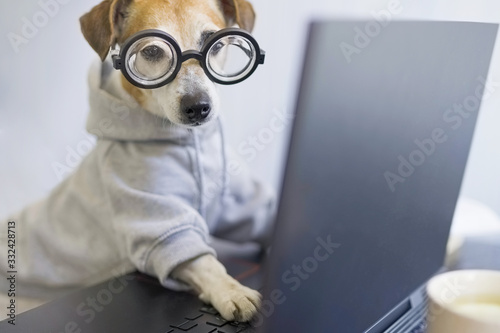 Fototapeta Smart dog in glasses working with computer. Wearing sporty stylish hoodie. Freelancer work from home during quarantine Social distancing lifestyle. Stay at home. Horizontal photo. Funny pet theme obraz