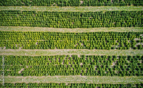 Obraz Vertical aerial view of a plantation with fir trees for the Christmas harvest - fototapety do salonu