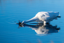 A Great Egret Hunting For Food