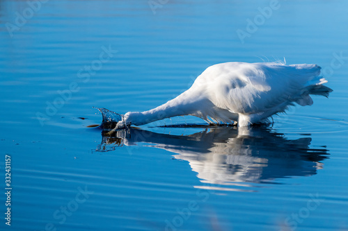 A great egret hunting for food Wallpaper Mural