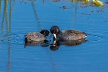 Two Adult American Coots (Fulica Americana) Swimming On The Surface Of The Water