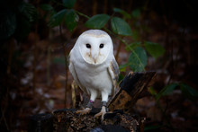 Great  Owl On A Branch