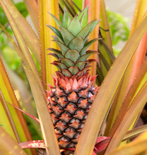 Red Pineapples Are Growing In ...