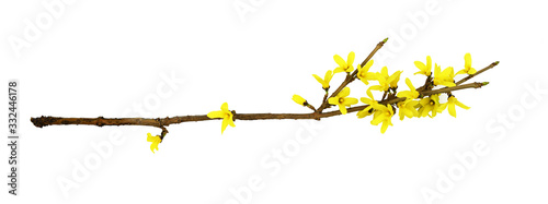 Spring twig of forsythia shrub with yellow flowers Fototapet
