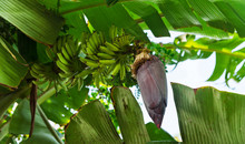 Bunch Of Ripening Green Banana...