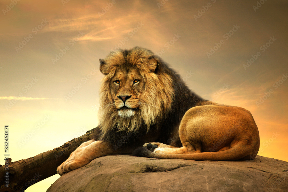 Fototapeta Male lion, reclining