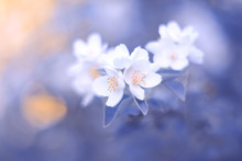 Blooming Jasmine Branch On A Blue Blurry Toned Background. Spring Beautiful Floral Image. Selective Soft Focus.
