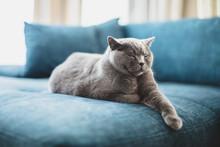 Happy British Cat Lying Relaxe...