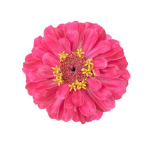 Surreal Pink Zinnia Flower Isolated On White. High Detailed Macro Photo