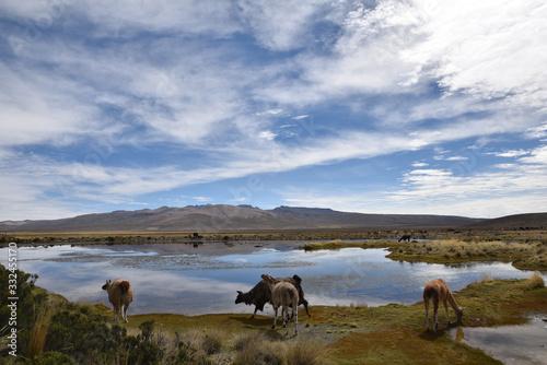 Troupeau de l'altiplano andin, Pérou Wallpaper Mural