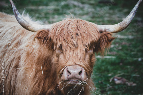 Fototapety, obrazy: A highland cattle bull staring directly at me while eating hay in his pasture