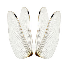 Dragonfly Wings Isolated On Wh...