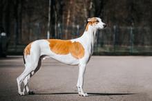 Greyhound Dog Posing Outside After Dog Show.