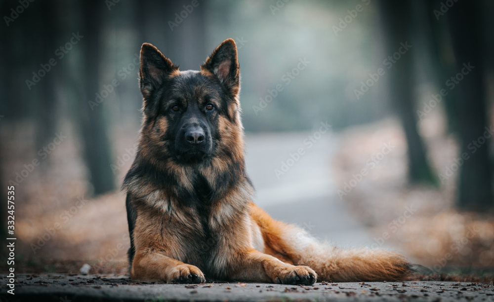 Fototapeta German shepherd longhaired dog  posing outside. Show dog in natural park.