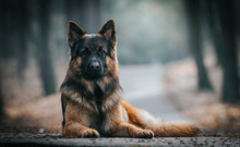 German Shepherd Longhaired Dog...