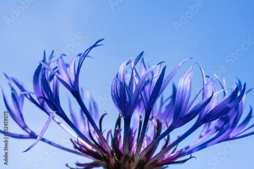 Closeup of a bright blue cornflower petals (Latin: Centaurea cyanus) in the blue sky background Wallpaper Mural