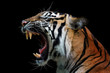 Head of sumateran tiger